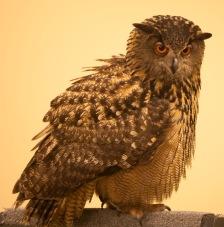 Eurasian Eagle -owl - Glen Cox