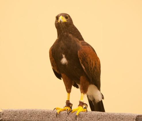 Harris Hawk - Glen Cox
