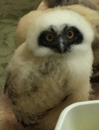 Baby Spectacle Owl - Nancy Brown