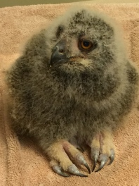 Baby Eurasian Eagle-owl - Nancy Brown