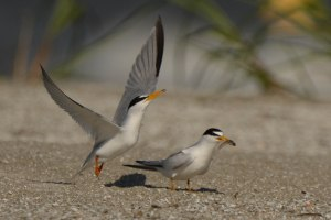 Courtship of Least Terns - Ed Konrad