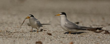 The male Least Tern presents a fish to his prospective mate - Ed Konrad