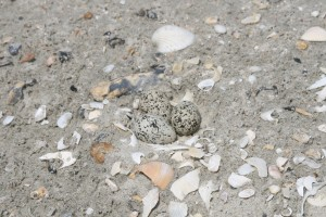 A closer look at the Wilson's Plover eggs.