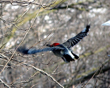 Red-bellied Woodpecker flying - notice the white patch on his bum - Cornell Lab