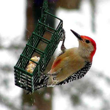Red-bellied Woodpecker - notice the red patch on his front - Cornell Lab