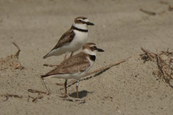 A pair of Wilson's Plovers on North Beach - Ed Konrad