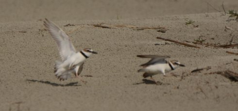 "Wilson's Plovers in a mating ""scuffle"" on North Beach - Ed Konrad"