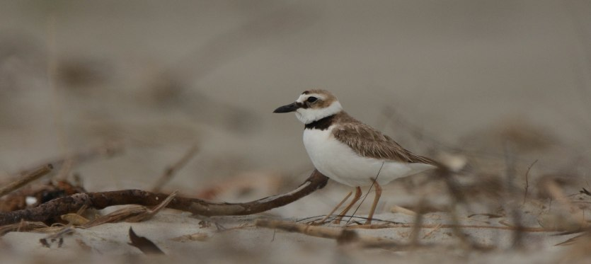 Wilson's Plover on North Beach - Ed Konrad