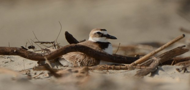 Wilson's Plover sitting on a nest at North Beach - Ed Konrad