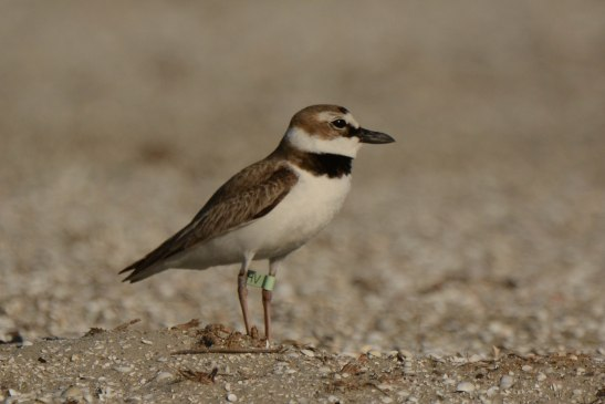 Wilson's Plover, North Beach - Ed Konrad