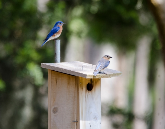 Eastern Bluebirds - Bob Hider