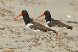 American Oystercatcher U5 and mate - Ed Konrad