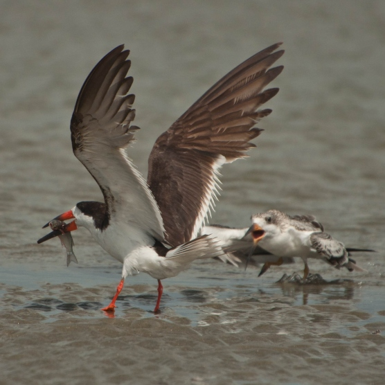 Black Skimmer feeding its young - Ed Konrad
