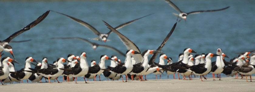 "A ""conspiracy"" of Black Skimmers - Ed Konrad"