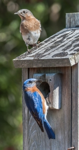 Eastern Bluebirds - Charley Moore