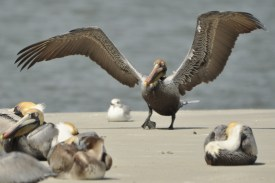 Brown Pelican coming in for a landing - Ed Konrad