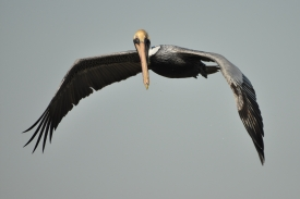 Brown Pelican in fight - Ed Konrad