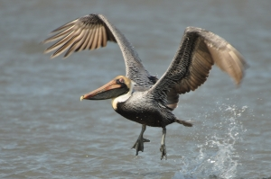 Brown Pelican taking off from the ocean - Ed Konrad