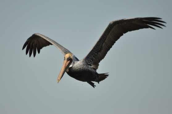 Brown Pelican flying - Ed Konrad
