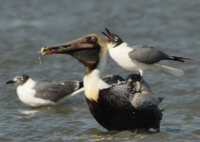 Laughing Gull looking for some dropsies from a Brown Pelican - Ed Konrad