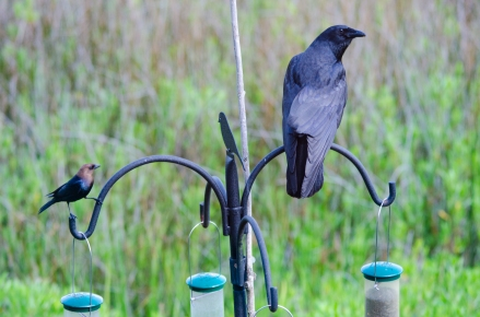 Crow with Brown-headed Cowbird - Bob Hider