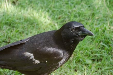Crow - Bob Hider