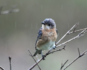 Female Eastern Bluebird in the rain - Bob Hider