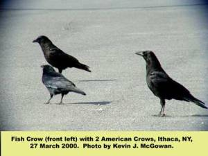 Fish Crow & American Crow from Cornell Lab of Ornithology website