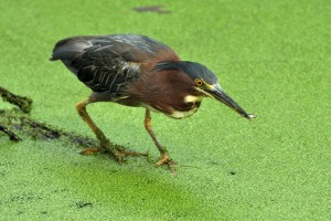 Green Heron on the hunt - Ed Konrad