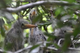 Jenkins Point juvenile Green Herons - Ed Konrad