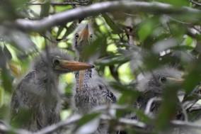 Jenkins Point juvenile Green Herons - Ed Konrad