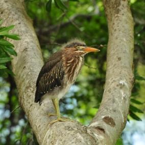 Juvenile Green Heron - Ed Konrad