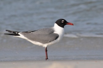 Laughing Gull in breeding (summer) plumage - Ed Konrad