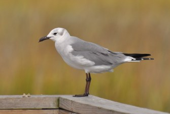 Laughing Gull in non-breeding plumage (Winter) - Ed Konrad