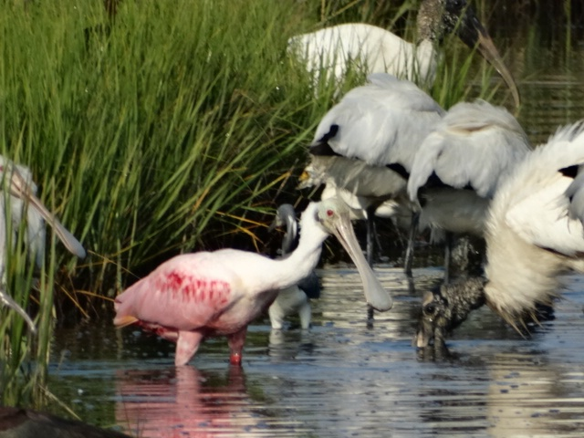 Roseate Spoonbills feeding alongside Wood Storks at Marsh Haven, Seabrook Island on Monday June 13, 2016 - Henry Fellers
