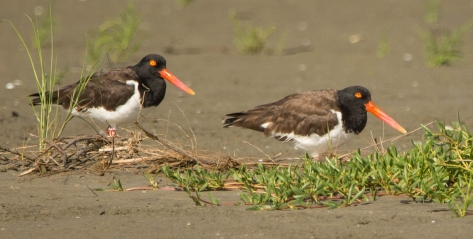 American Oystercatcher U5 and mate on North Beach - Ed Konrad