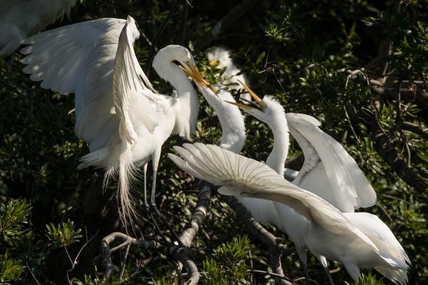 Great Egret still feeding their young at Jenkins Point Rookery - Ed Konrad