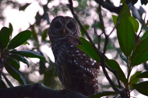 Barred Owl Sighted on 6/29/16 in the front yard of 2619 Seabrook Island Road. Photo credit: Grace Delanoy.
