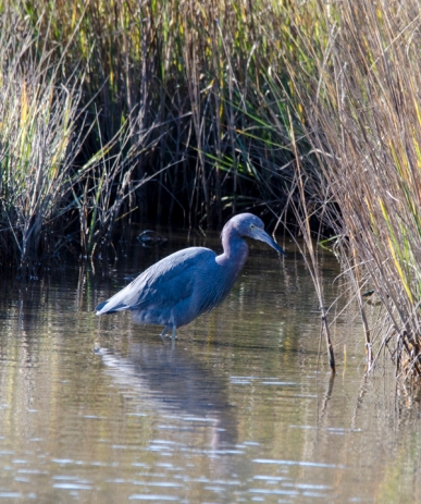 Adult Little Blue Heron - Carl Helms