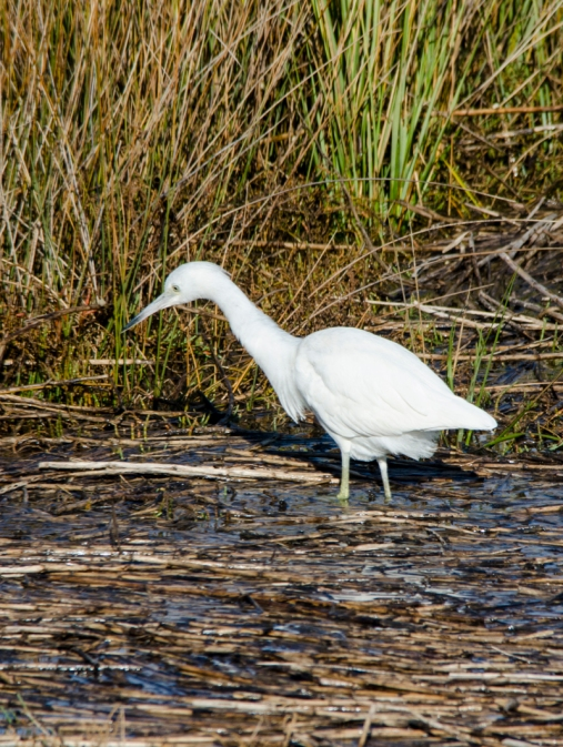 Immature Little Blue Heron - Bob Hider