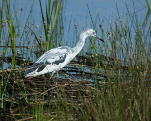Molting Little Blue Heron - Bob Hider