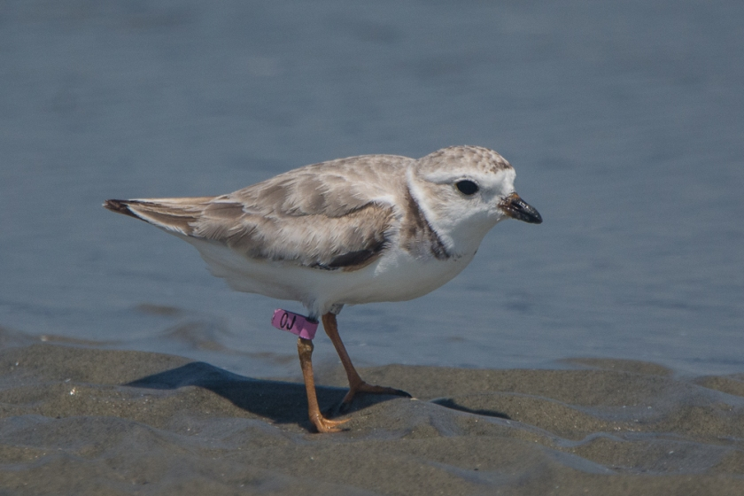 "Piping Plover ""OJ"" seen on North Beach of Seabrook Island July 22, 2016 - Aija & Ed Konrad"