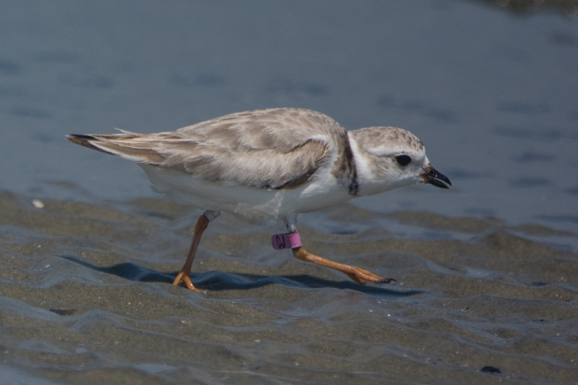 "Piping Plover ""47"" seen on North Beach of Seabrook Island July 22, 2016 - Aija & Ed Konrad"