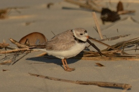 Piping Plover - North Beach, Seabrook Island - Ed Konrad