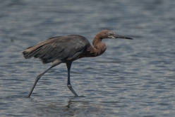 Reddish Egret - North Beach, Seabrook Island - Ed Konrad