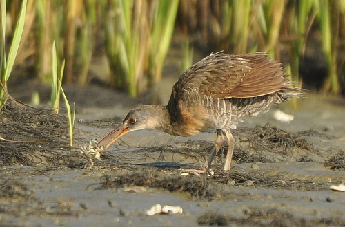 Clapper Rail eating a small crab on the mud flat - Ed Konrad