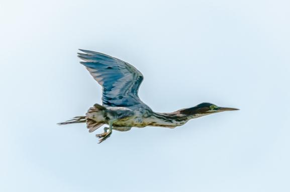 Green Heron - Charlie Moore
