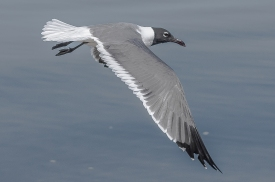 Laughing Gull - Charles Moore