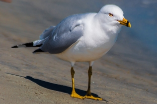 Ring-billed Gull - Charles Moore