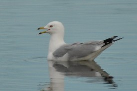 Ring-billed Gull - Ed Konrad
